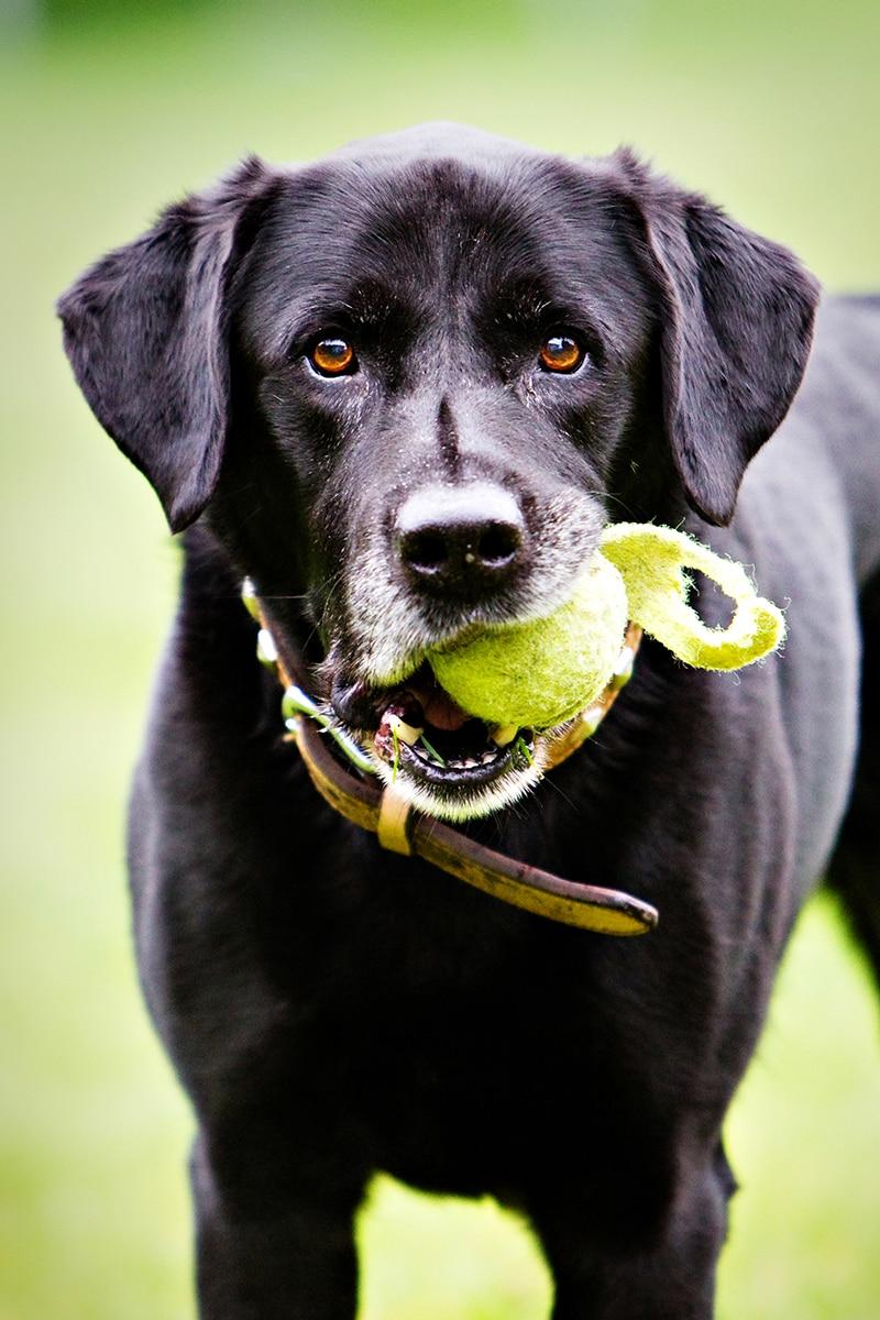 A Black Labrador holding a ball in his mouth.