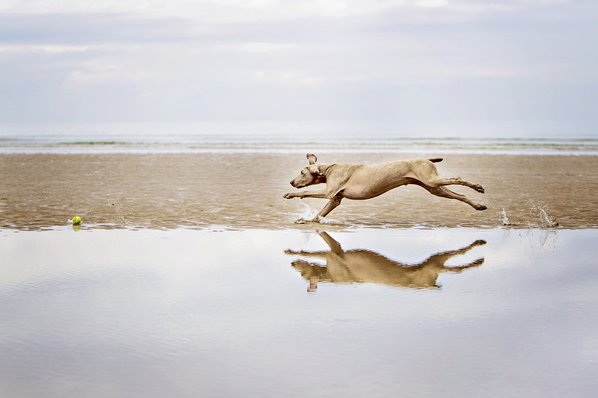 Weimaraner running on the beach, with reflection in the water.