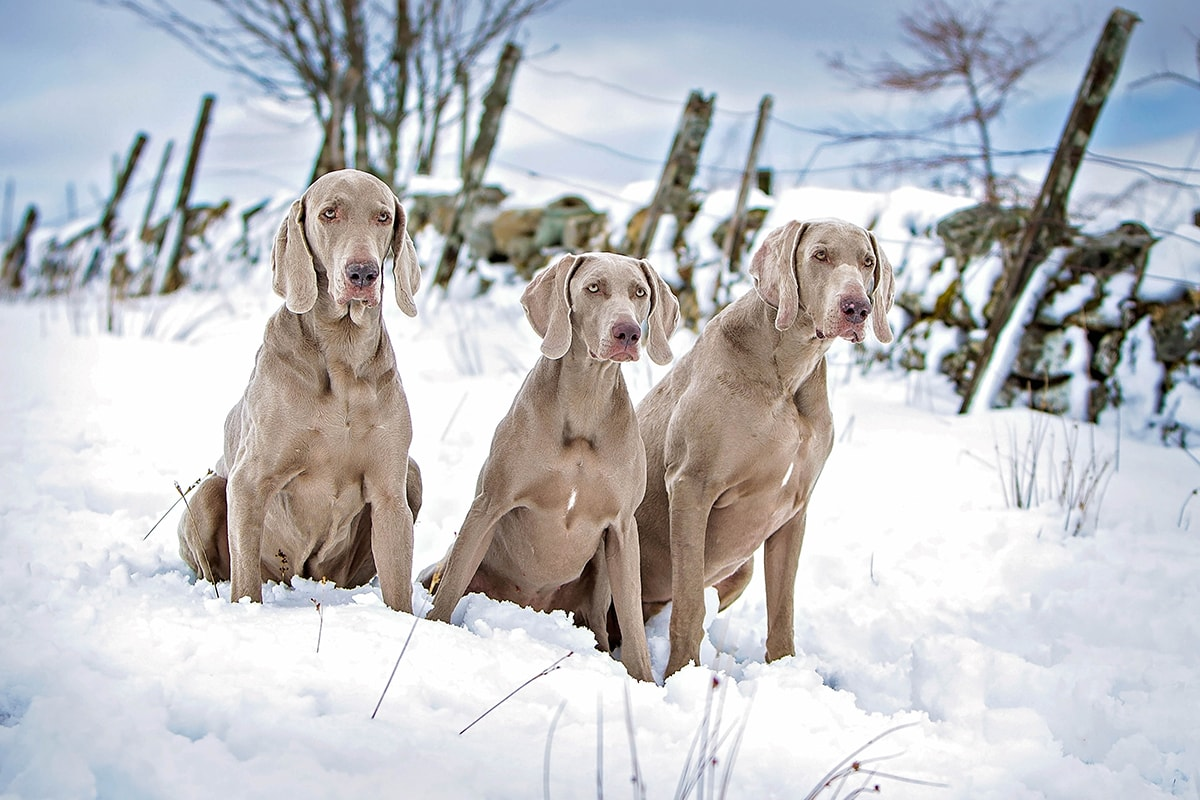 Three Weimaraners in the snow, with a fence in the background.