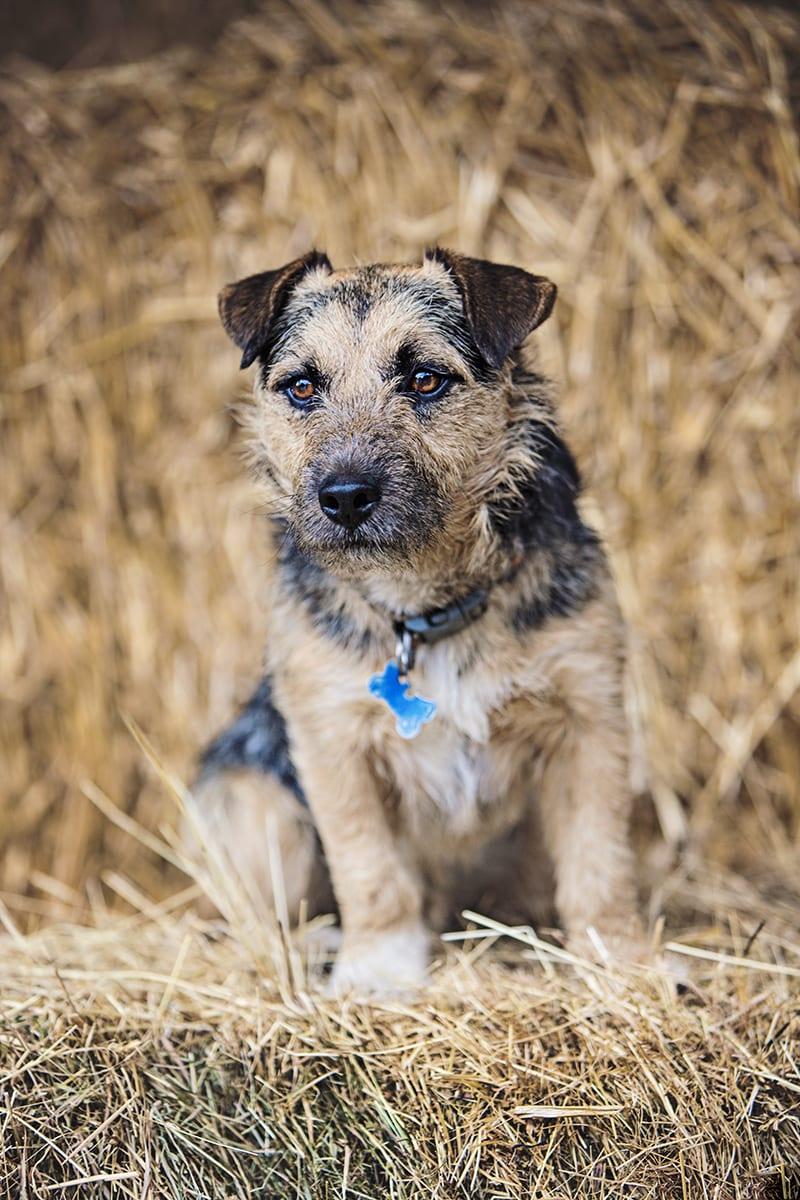 Terrier cross sat on a hay bale