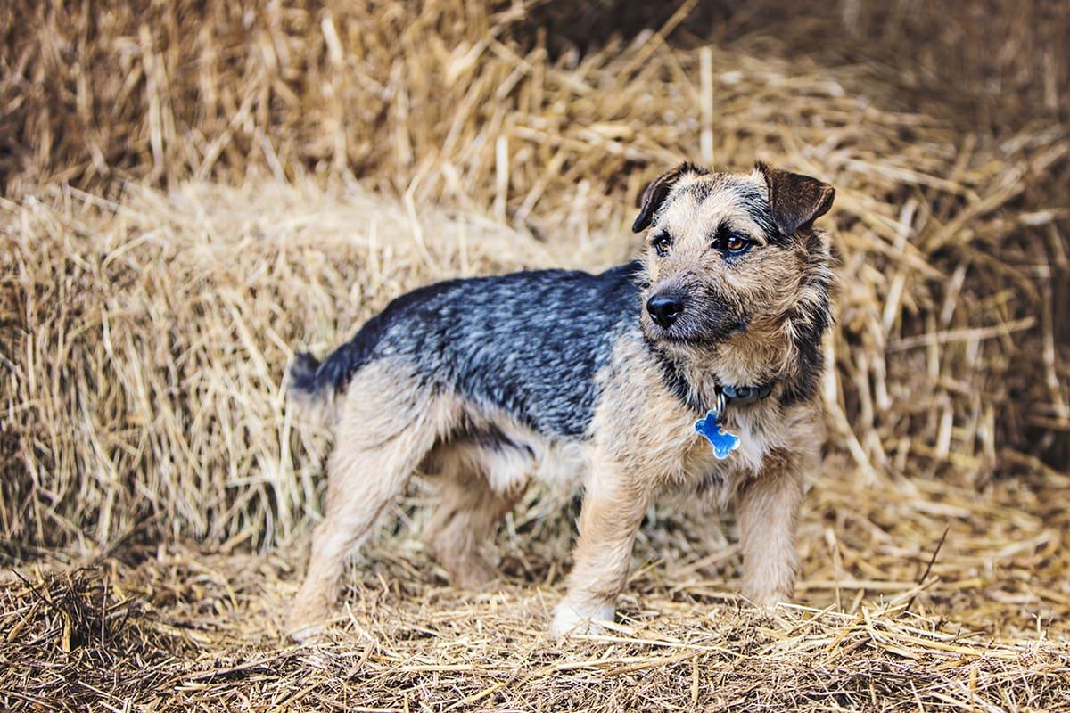 Terrier cross stood on a hay bale.