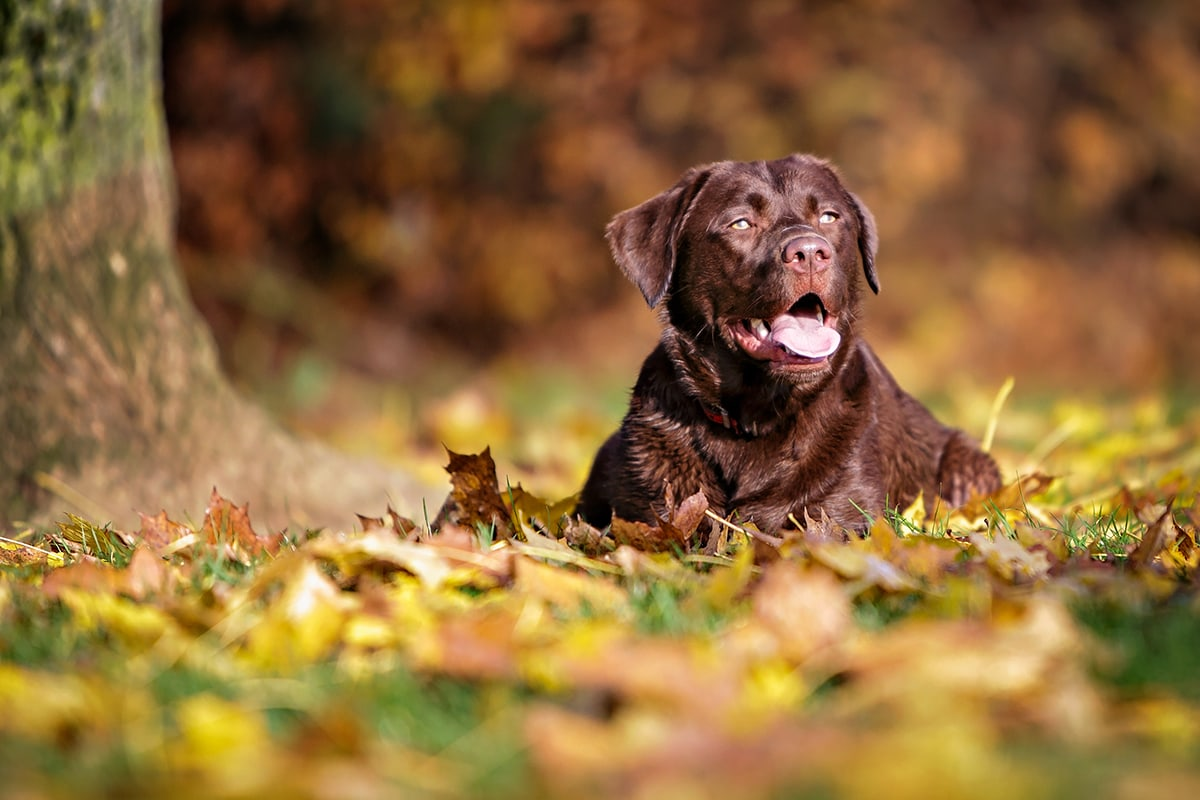 Chocolate Labrador lay in the autumn leaves