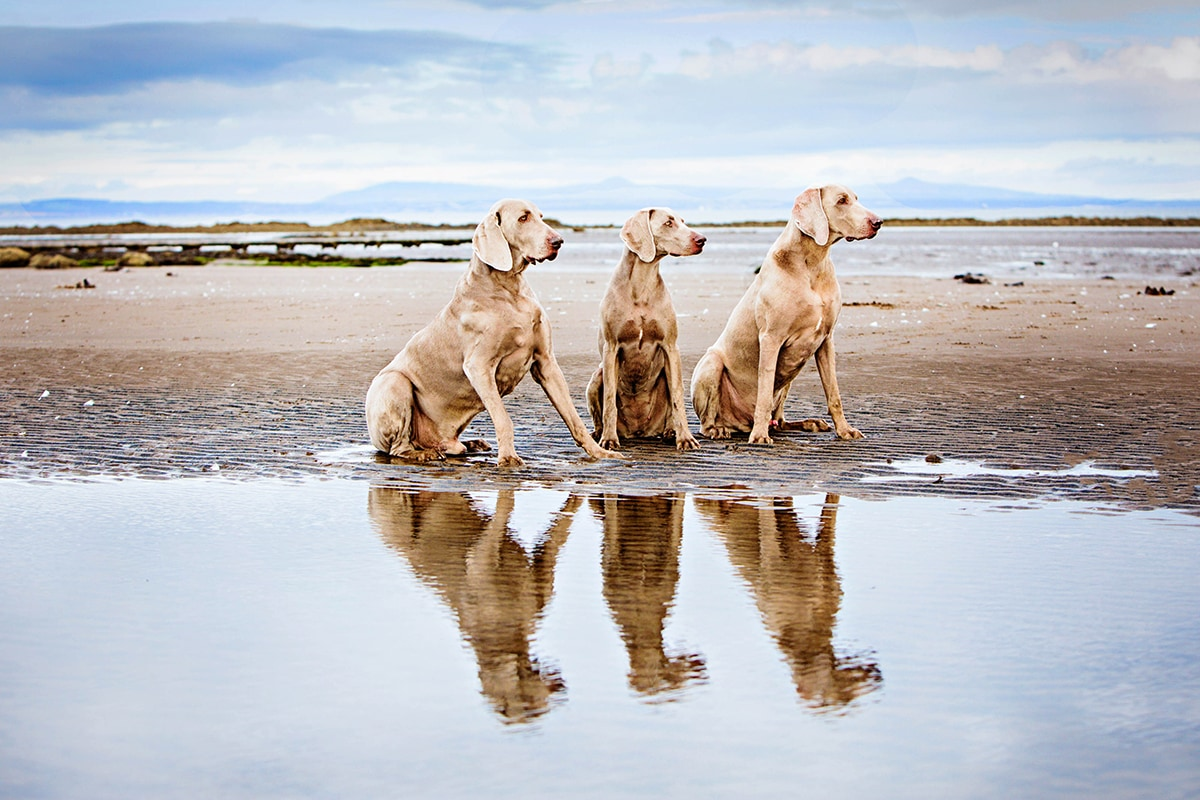 Three Weimaraners on the beach, with their reflection in the water.