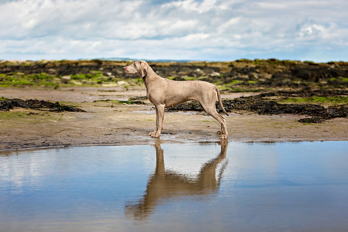 Weimaraner stood on the beach with reflection in the water.