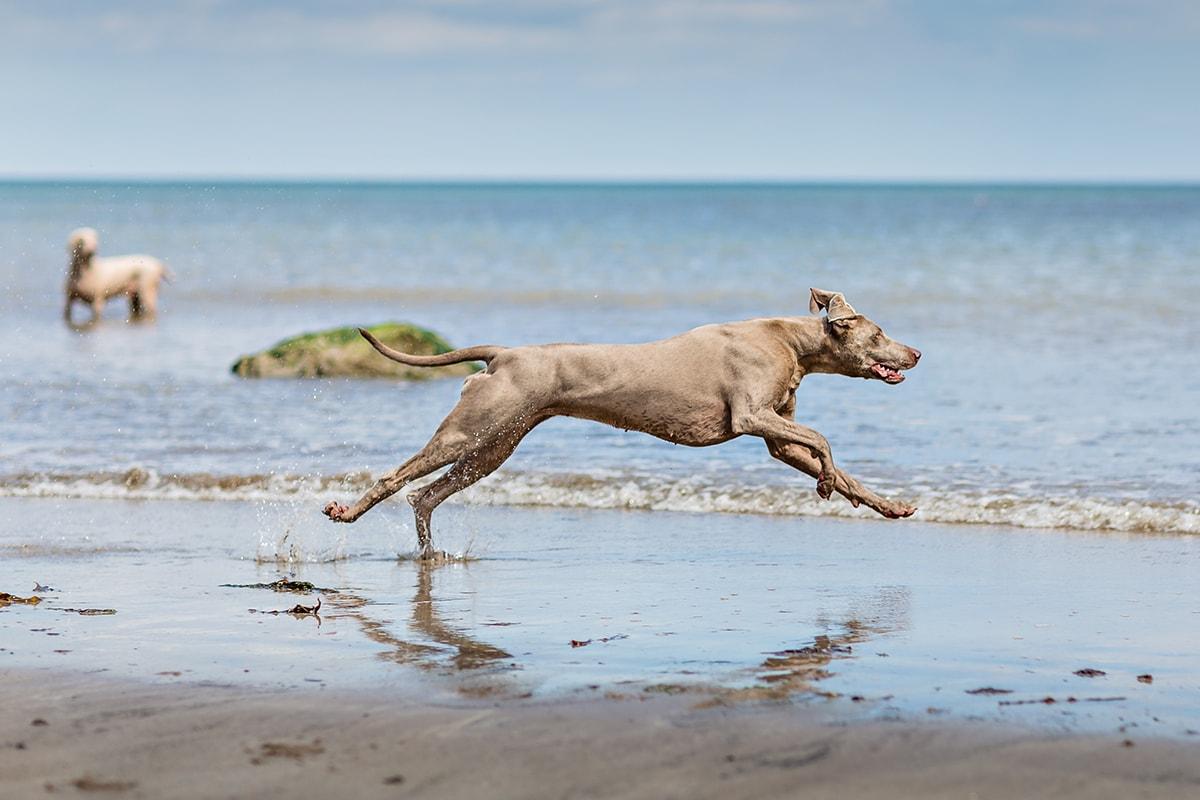 Weimaraner running on the beach.