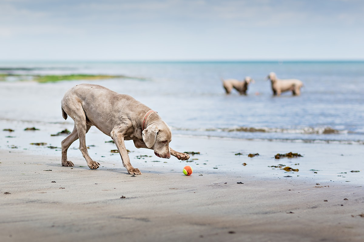 Weimaraner chasing a ball on the beach, with two Weimaraners in the sea in the background.