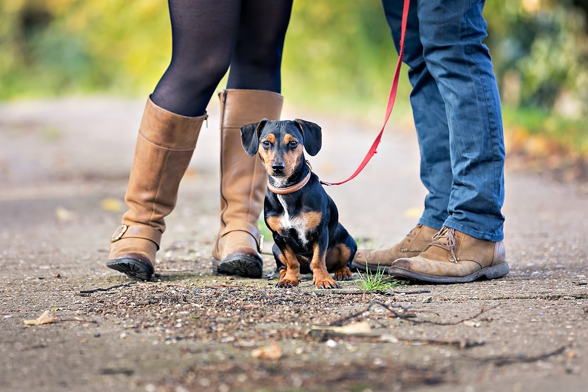 A Dachshund cross sat between the feet of his owners.