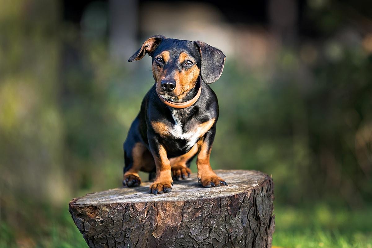 A Dachshund cross on a log.