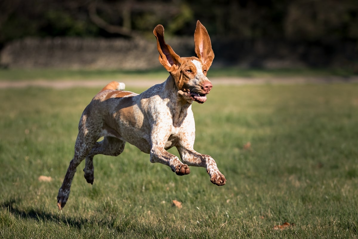 A Bracco Italiano running with ears in the air.