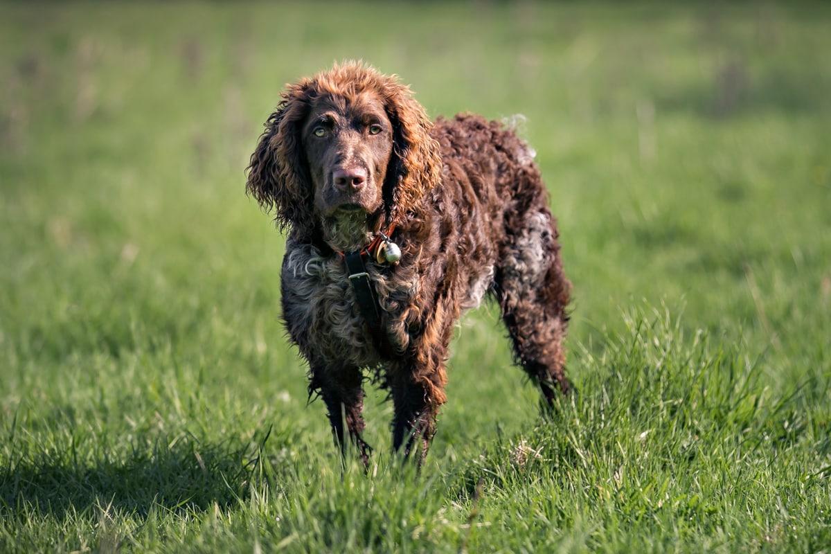 A puppy Epagneul de Pont Audemer stood in the grass.