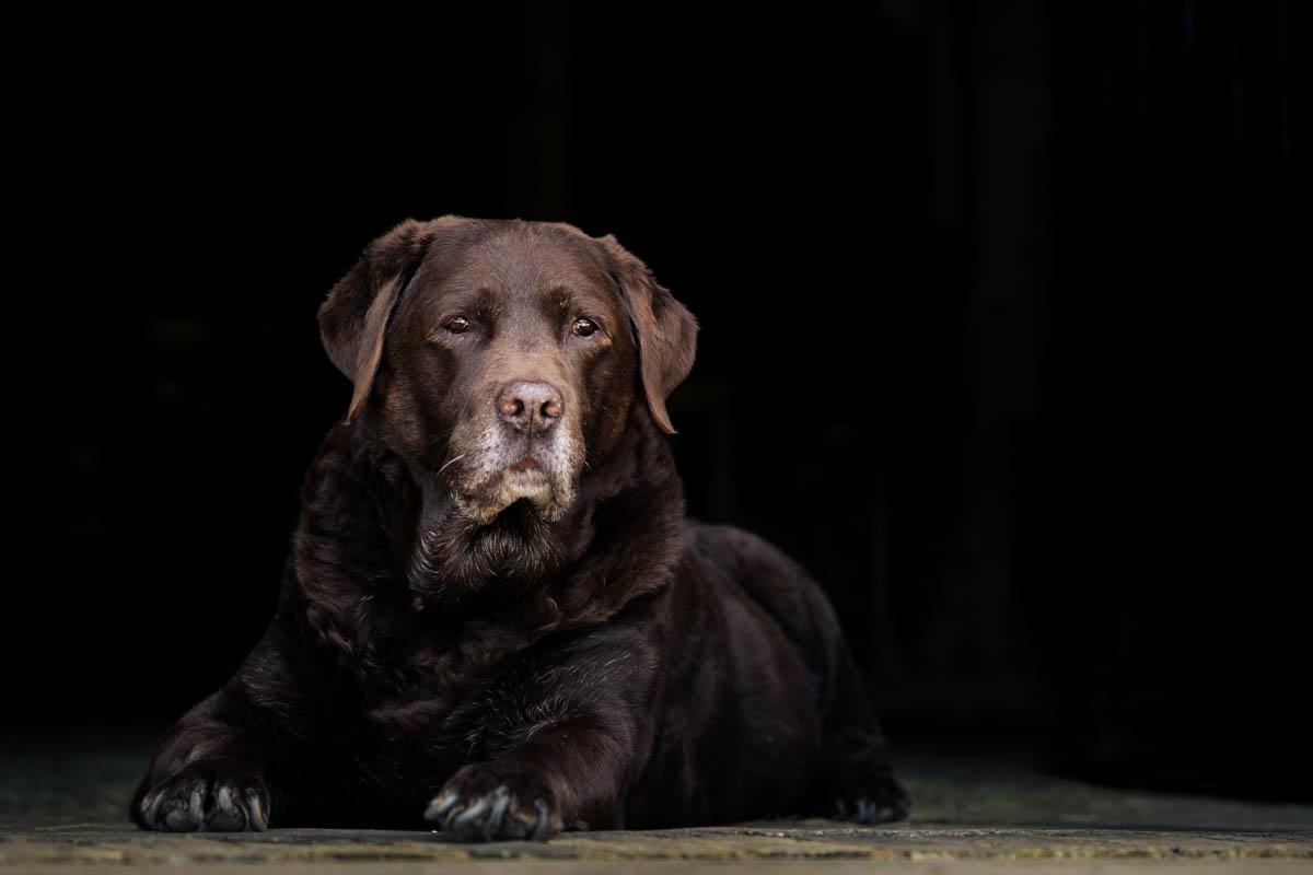 An older chocolate Labrador lay down