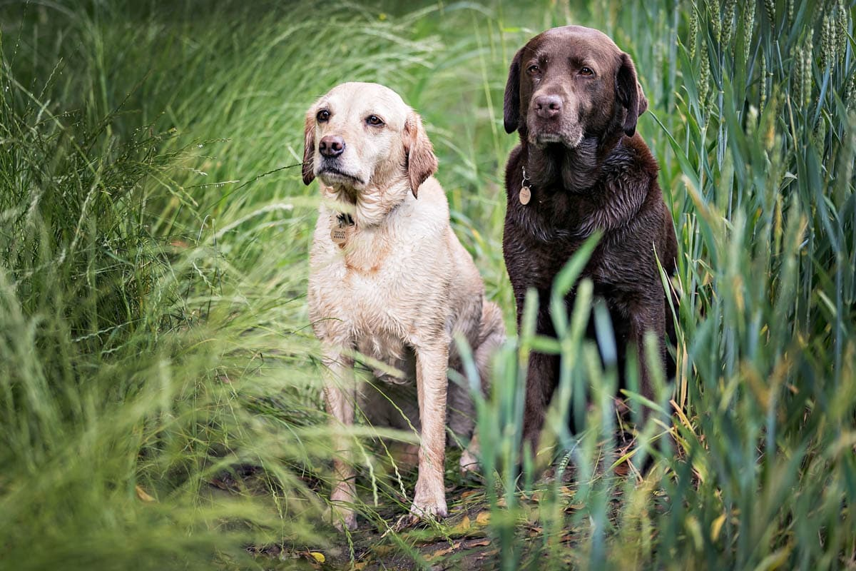 A yellow and a chocolate Labrador in the field