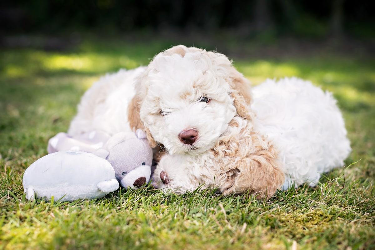 Two Lagatto Romaglano Puppies cuddling on the grass.