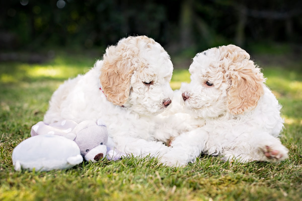 Two Lagatto Romaglano Puppies sat together on the grass.