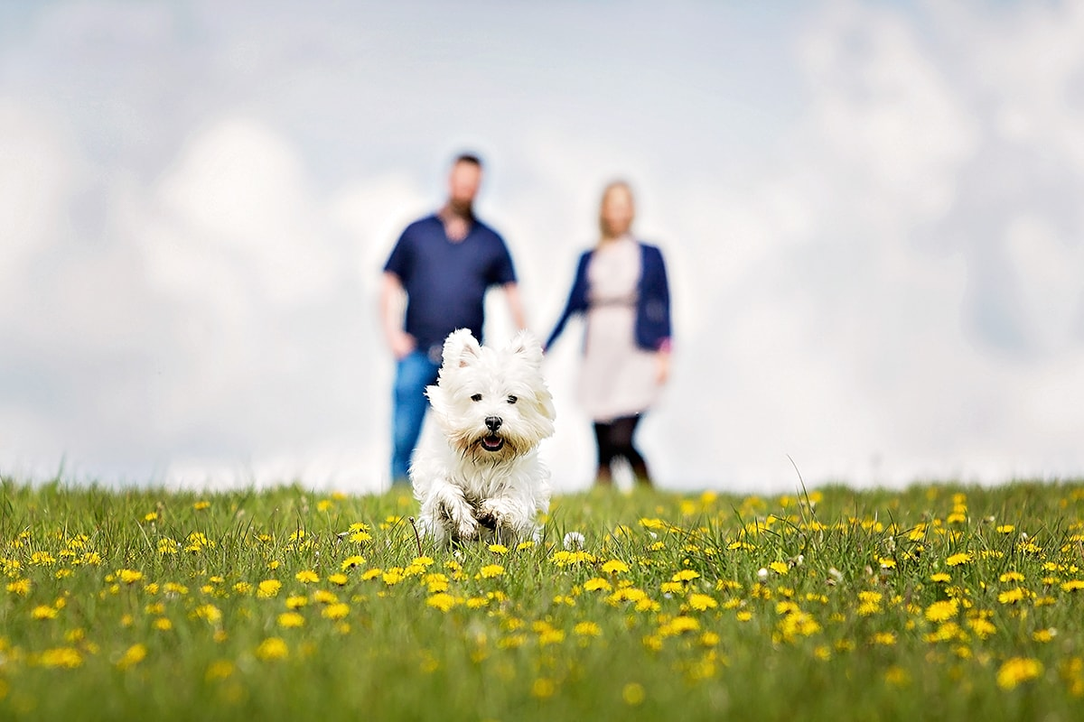 West Highland White Terrier running though a field of dandelions