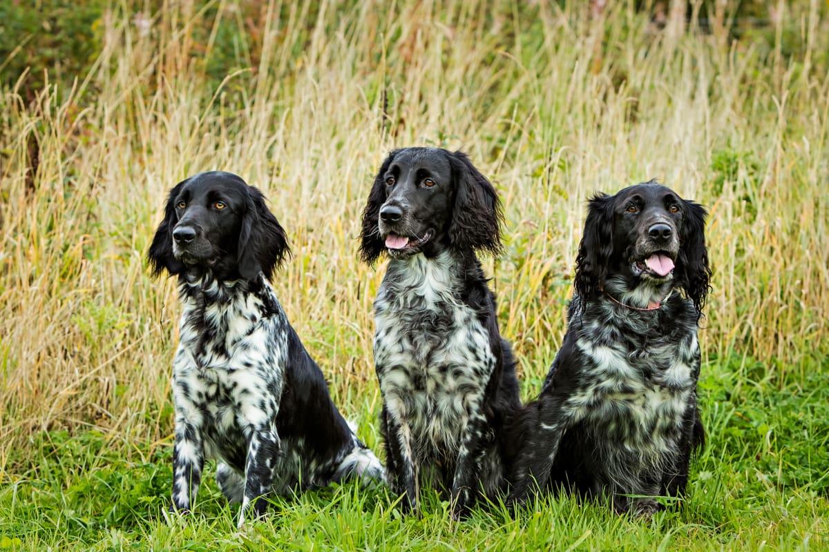 Three Large Munsterlanders sat in a field.