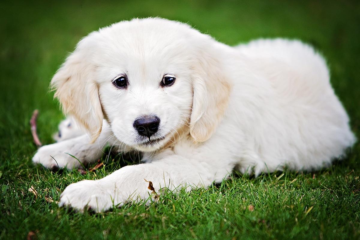 Golden Retriever puppy in the garden.