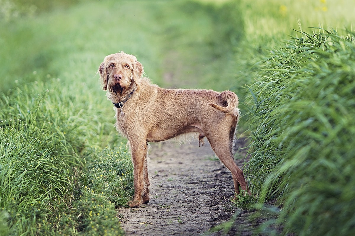 Hungarian Wirehaired Vizsla standing in a field.
