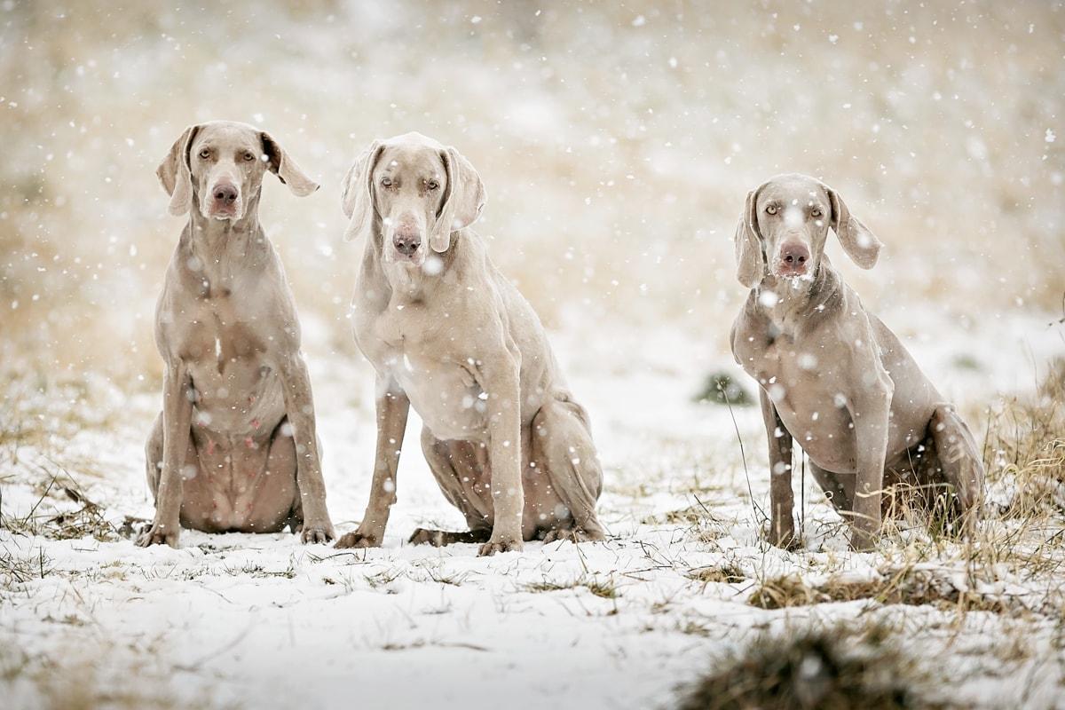 Three Weimaraner sat in a snow flurry