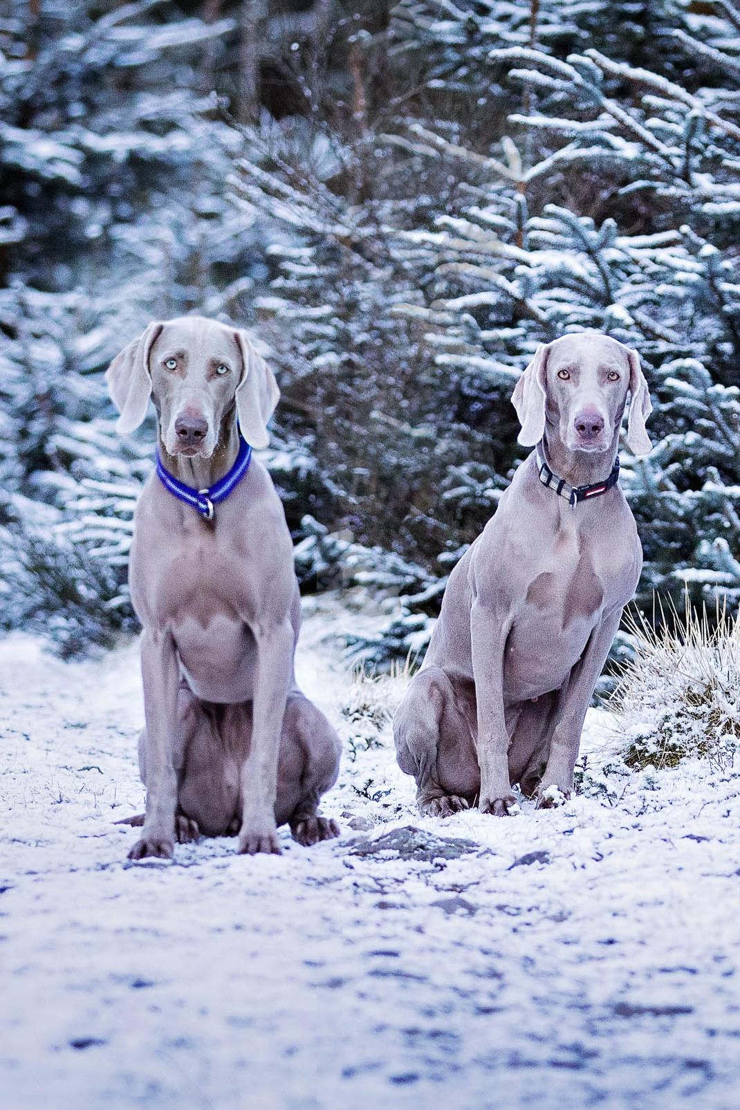 Two Weimaraners sat in a snowy scene.